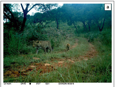 Erythristic leopards Panthera pardus in South Africa
