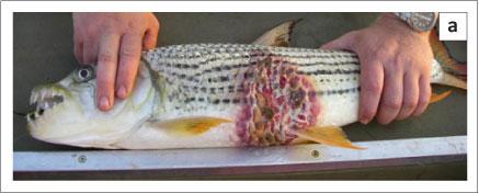 Epizootic Ulcerative Syndrome Exotic Fish Disease