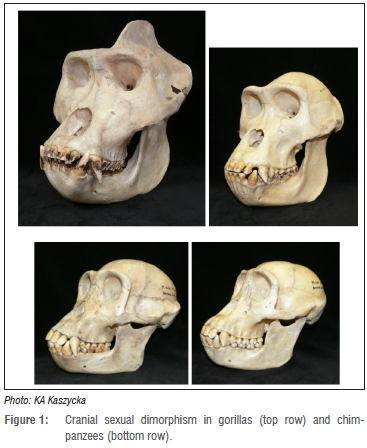 Sexual dimorphism in early hominids